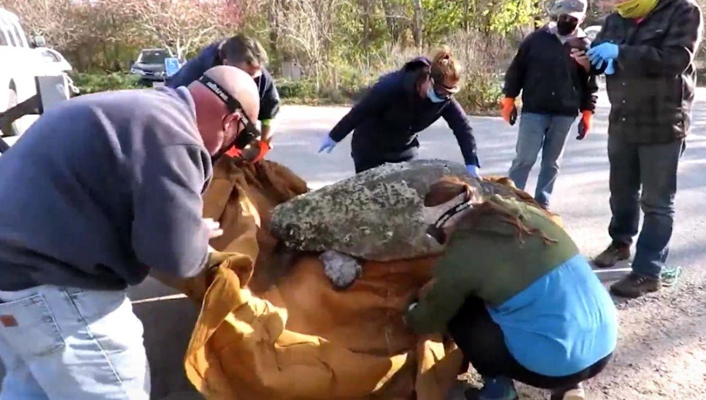 Wolontariusze pomogli przetransportować żółwia do szpitala oceanarium (fot. EBU/Mass Audubon's Wellfleet Bay Wildlife Sanctuary)